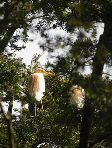 Free Egrets And Forests Royalty Free Stock Image - 191744946
