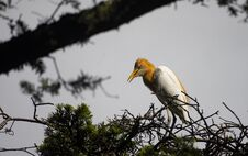 Free Egrets And Forests Royalty Free Stock Image - 191744956
