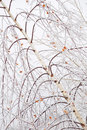 Free Frozen Birch Branches Stock Image - 19181401