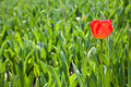 Free Spring Tulips Impregnated By The Sun Stock Photos - 19181503