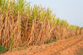 Free Plant Of Sugarcane And Blue Sky Stock Photo - 19187020