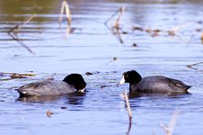 Free Two American Coots. Royalty Free Stock Photo - 19180335