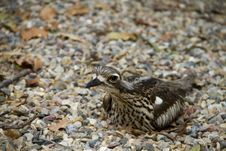 Bush Thick-Knee Royalty Free Stock Images