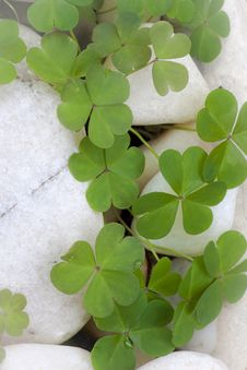 Free Clovers On White Rocks Stock Images - 19181934