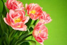 Free Tulips Stock Photo - 19182200