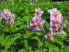 Free Blooming Potato Stock Image - 19182301