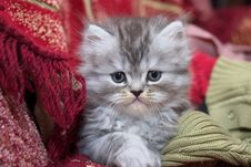 Free Persian Kitty Royalty Free Stock Photography - 19183087