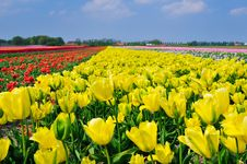 Free Field Of Tulips Stock Images - 19183384