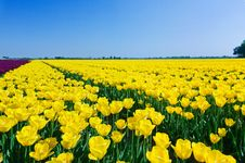 Free Field Of Tulips Stock Photos - 19183823