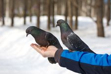 Free Pigeons On The Hand Stock Photography - 19184672
