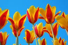 Free Tulips Stock Image - 19185121