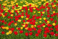 Free Tulips Royalty Free Stock Photo - 19185125
