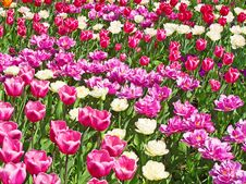 Free Tulips Stock Photography - 19185152