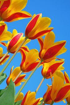 Free Tulips Stock Photo - 19185200