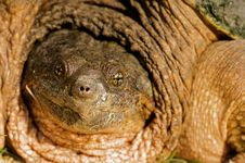 Snapping Turtle Close Up. Royalty Free Stock Photography