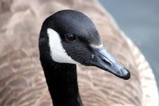 Free Canada Goose Royalty Free Stock Images - 19185649