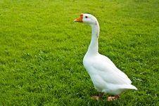 Duck And Goose Royalty Free Stock Images