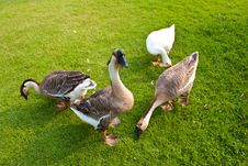 Duck And Goose Royalty Free Stock Photo