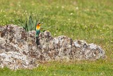 Free Bee-eater In Spring Stock Image - 19186751