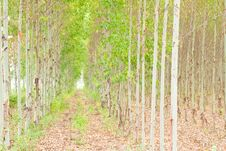 Free Eucalyptus Forest In Thailand Royalty Free Stock Images - 19186829