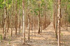 Free Eucalyptus Forest In Thailand Royalty Free Stock Photos - 19186888