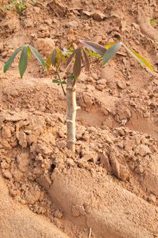 Free Young Cassava Tree In Plant Royalty Free Stock Images - 19186999