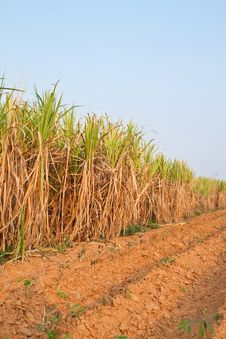 Free Plant Of Sugarcane And Blue Sky Stock Image - 19187081