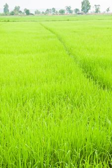 Free Green Young Rice In Paddy Field Stock Images - 19187284