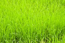 Free Green Young Rice In Paddy Field Stock Image - 19187311