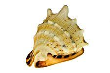 Free Sea Shell Stock Photos - 19187713