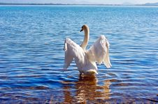Free White Swan Royalty Free Stock Image - 19187906