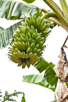 Free Green Young Bananas Stock Image - 19187971