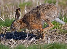 Running Hare Stock Images