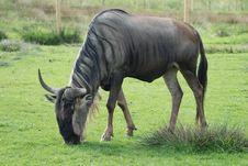 Free Wildebeest Stock Photos - 19189763