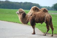 Free Bactrian Camel Royalty Free Stock Images - 19189769