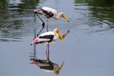 Free Fishing Storks Royalty Free Stock Image - 19189926