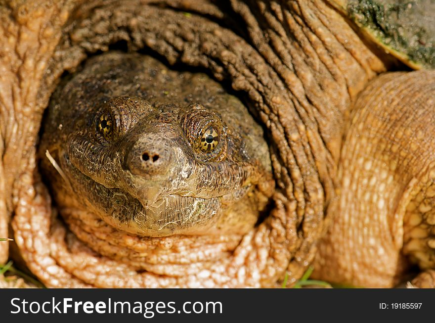Snapping Turtle Close Up  - Free Stock Images & Photos