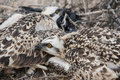 Free Osprey Chicks In A Nest Royalty Free Stock Images - 19190609