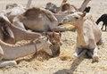 Free Dromedary Camels At A Market Stock Photo - 19191170