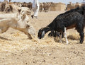 Free Dromedary Camel And Goat At A Market Royalty Free Stock Photos - 19191228