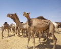 Free Dromedary Camels At A Market Royalty Free Stock Photography - 19191417