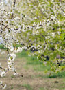 Free Cherry Blossom Stock Image - 19193681