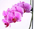 Free Orchid Flower Royalty Free Stock Photos - 19196458