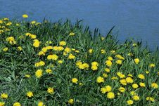 Free Dandelion Field With Water Background Royalty Free Stock Photo - 19190305