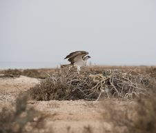 Free Osprey On A Nest Royalty Free Stock Images - 19190449