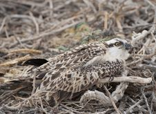 Free Osprey Chick In A Nest Stock Image - 19190571
