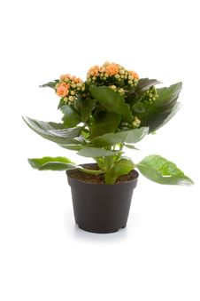 Free Houseplant  In A Pot Royalty Free Stock Photo - 19190945