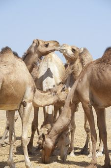 Free Dromedary Camels At A Market Stock Images - 19191324