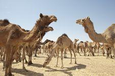 Free Dromedary Camels At A Market Royalty Free Stock Image - 19191446