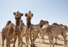 Dromedary Camels At A Market Stock Photo